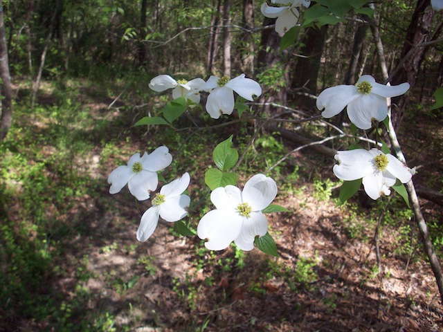 Dogwood blossoms (Eat Me. Drink Me.)