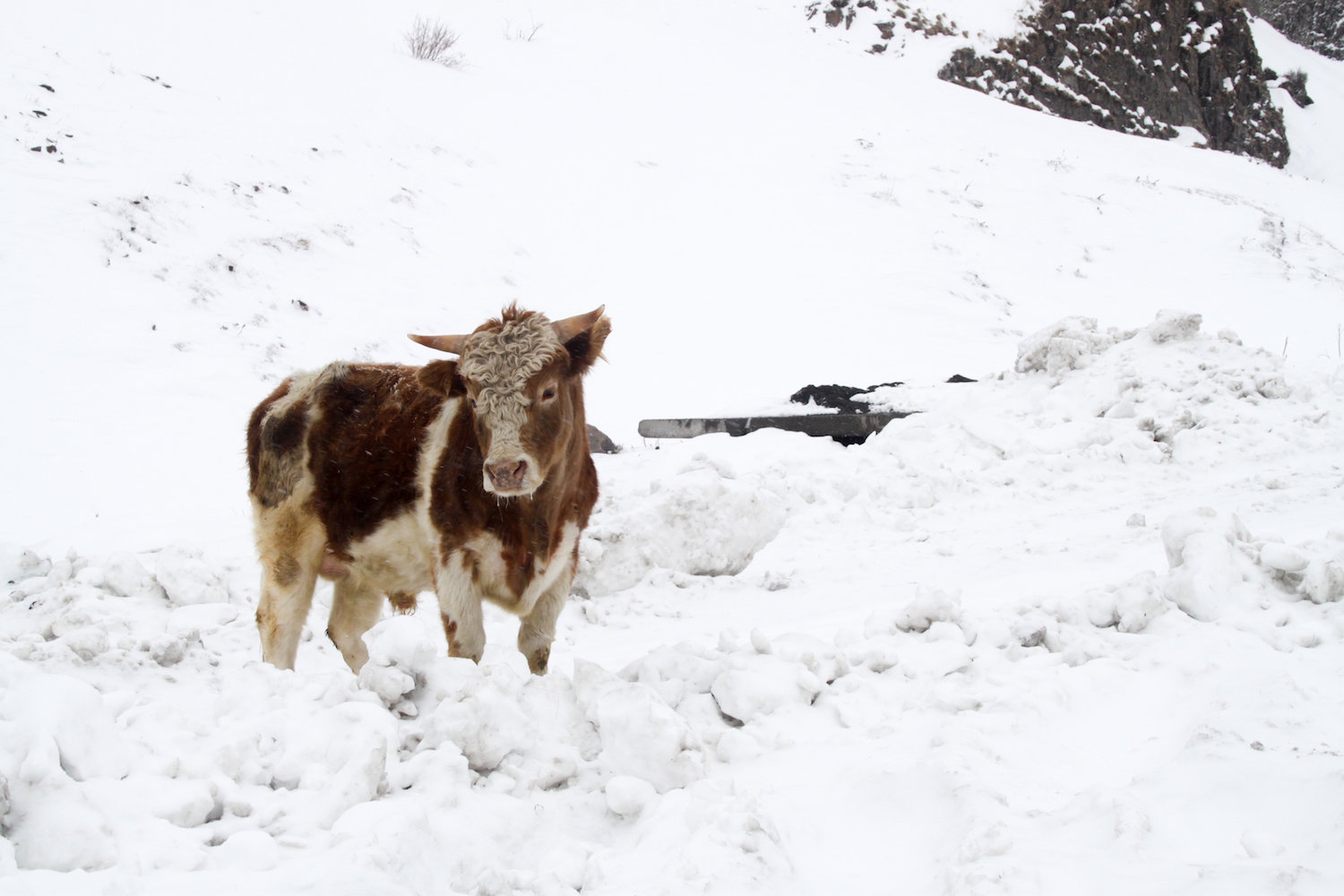 A Georgian winter cow (Eat Me. Drink Me.)