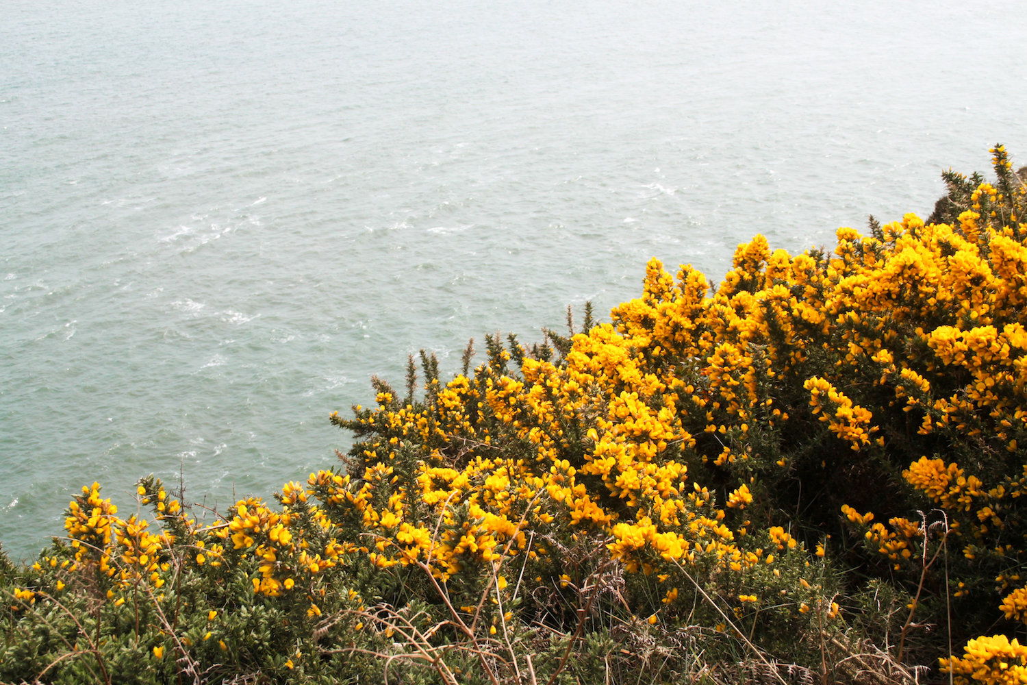 Beautiful yellow flowers along the cliffs (Eat Me. Drink Me.)
