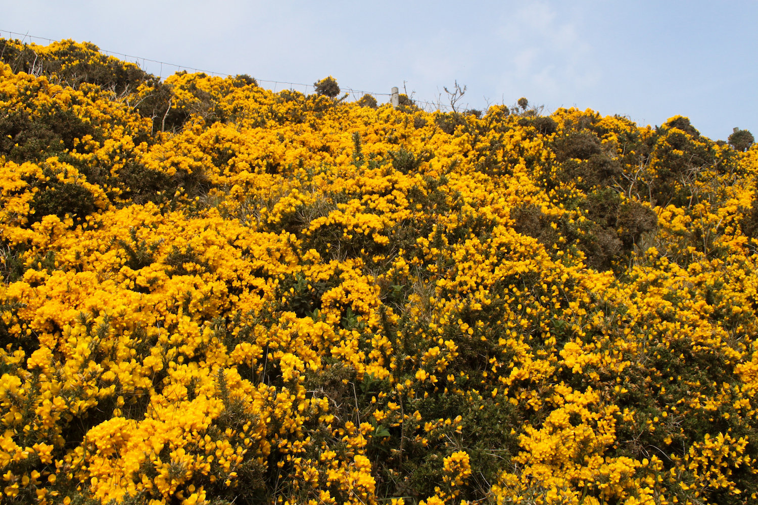 Field of yellow flowers, Howth (Eat Me. Drink Me.)