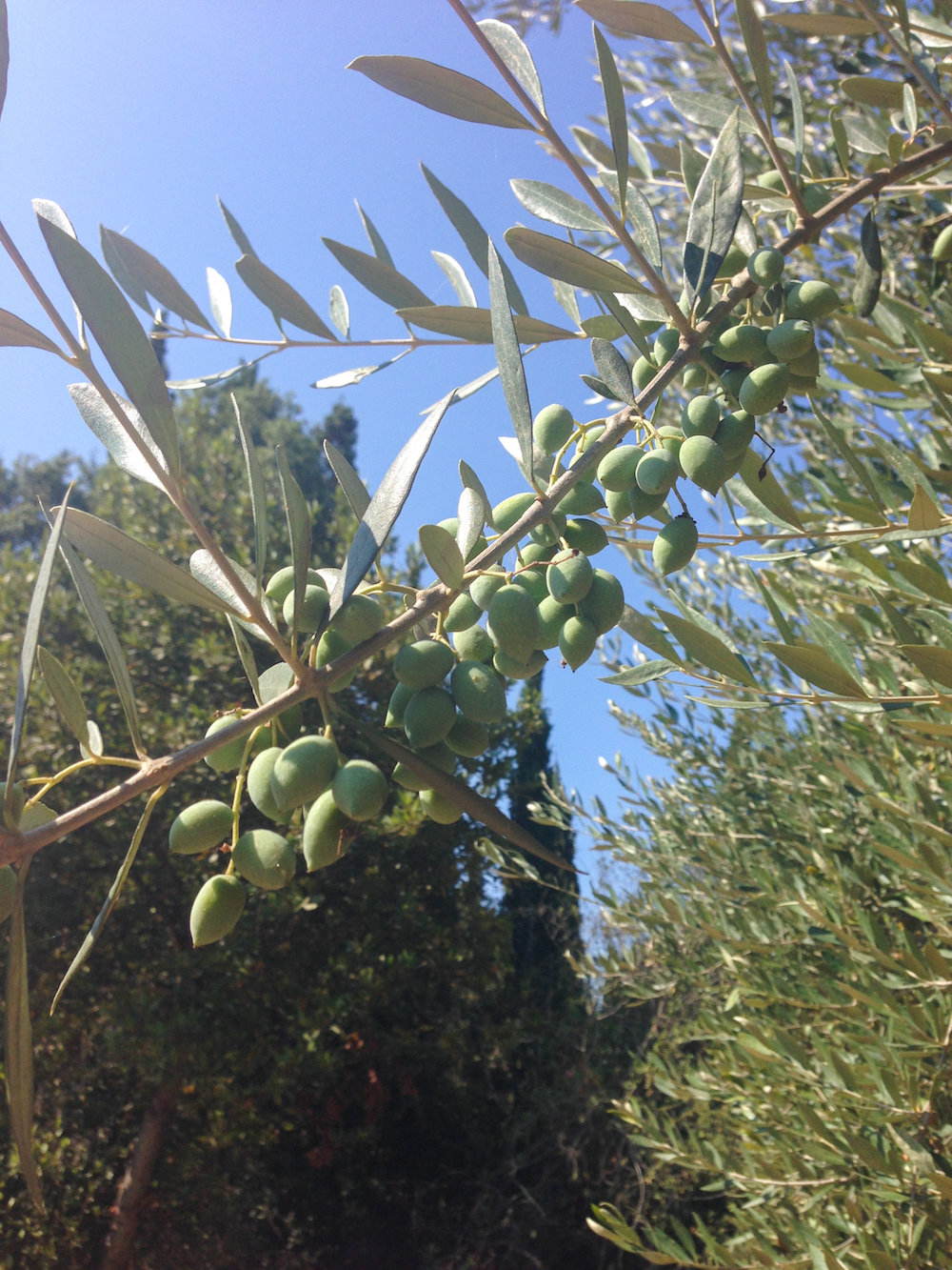 Olive tree in Greece (Eat Me. Drink Me.)
