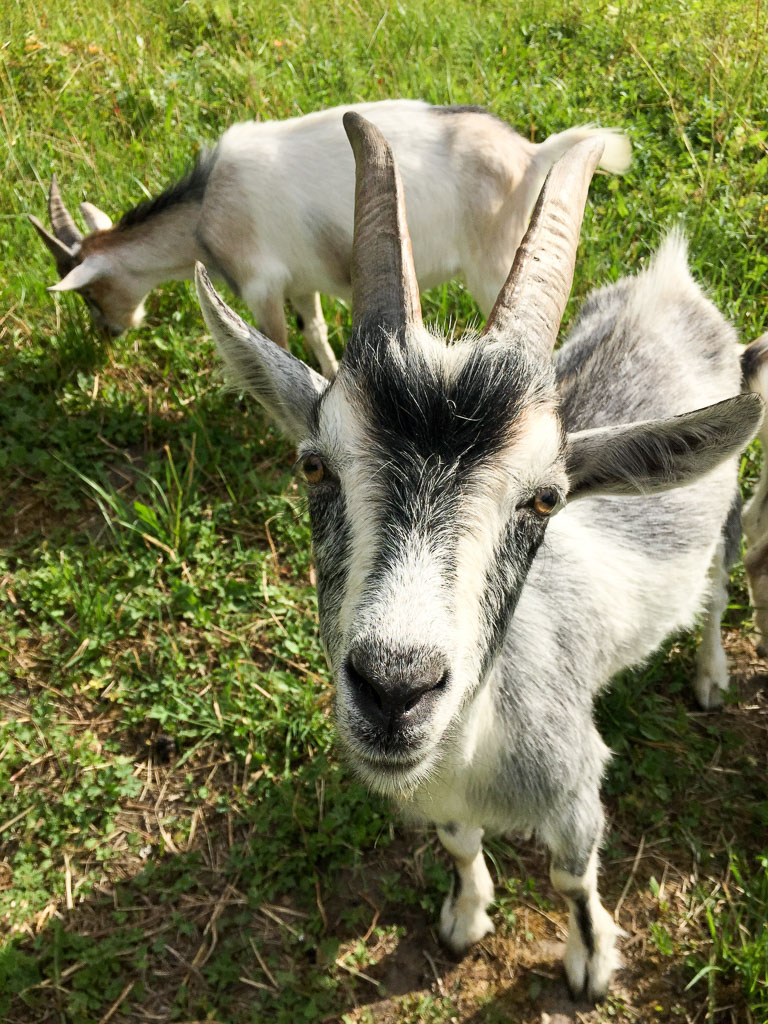 Goats! (Eat Me. Drink Me.)