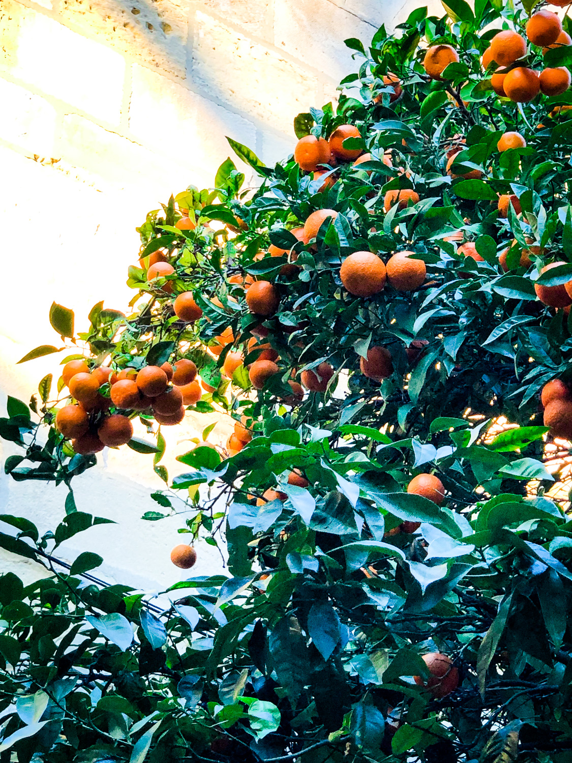 Orange tree in Lisbon (Eat Me. Drink Me.)